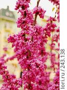 Купить «Цветущий кустарник», фото № 243138, снято 20 апреля 2018 г. (c) Лифанцева Елена / Фотобанк Лори