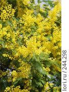 Купить «Мимоза», фото № 244298, снято 24 марта 2008 г. (c) Лифанцева Елена / Фотобанк Лори