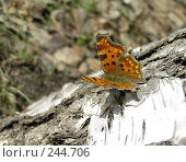 Купить «Бабочка Углокрыльница - на березе», фото № 244706, снято 4 апреля 2008 г. (c) ikheid / Фотобанк Лори