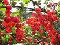 Красная смородина, освещенная солнцем, фото № 244862, снято 5 августа 2007 г. (c) Заноза-Ру / Фотобанк Лори