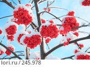 Купить «Зимняя рябина», фото № 245978, снято 9 декабря 2007 г. (c) Игорь Романов / Фотобанк Лори