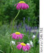 Купить «Три ромашки», фото № 246182, снято 30 июня 2006 г. (c) Мельник Ирина / Фотобанк Лори