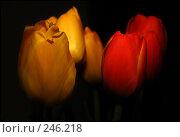 Купить «Тюльпаны на темном фоне», фото № 246218, снято 11 марта 2007 г. (c) Akunia-Gerrero N.V. / Фотобанк Лори