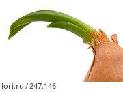 Купить «Проросшая луковица, макро», фото № 247146, снято 10 апреля 2008 г. (c) Угоренков Александр / Фотобанк Лори