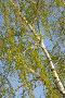 Ветка березы в апреле, фото № 248110, снято 10 апреля 2008 г. (c) Федор Королевский / Фотобанк Лори