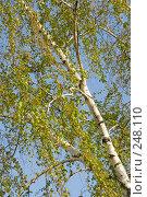 Купить «Ветка березы в апреле», фото № 248110, снято 10 апреля 2008 г. (c) Федор Королевский / Фотобанк Лори