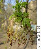 Купить «Весна. Распускаются почки.», фото № 249166, снято 12 апреля 2008 г. (c) Яременко Екатерина / Фотобанк Лори