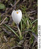 Купить «Белый крокус», фото № 249390, снято 12 апреля 2008 г. (c) Андрей Ерофеев / Фотобанк Лори