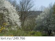 Купить «Цветущие деревья - алыча», фото № 249766, снято 12 апреля 2008 г. (c) Федор Королевский / Фотобанк Лори