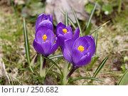 Купить «Фиолетовые крокусы», фото № 250682, снято 13 апреля 2008 г. (c) Андрей Ерофеев / Фотобанк Лори