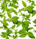 Зеленые ветки и листья, фото № 250746, снято 22 октября 2016 г. (c) Коннов Леонид Петрович / Фотобанк Лори