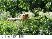 Купить «Тигр в траве лежит  зевает», фото № 251198, снято 18 августа 2007 г. (c) Александр Шуников / Фотобанк Лори