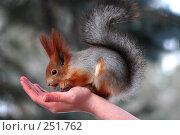 Купить «Белка ест орешки с руки», фото № 251762, снято 3 января 2007 г. (c) Смыгина Татьяна / Фотобанк Лори