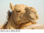 Купить «Верблюд», фото № 252610, снято 28 мая 2006 г. (c) Андрей Хохлов / Фотобанк Лори