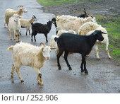 Купить «Козы», фото № 252906, снято 16 апреля 2008 г. (c) Михаил Николаев / Фотобанк Лори