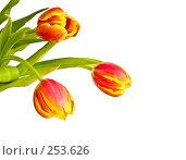 Купить «Три красно-желтых тюльпана на белом фоне», фото № 253626, снято 8 марта 2008 г. (c) Ольга Хорькова / Фотобанк Лори