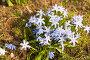 Куртинка голубых цветов, фото № 253654, снято 12 апреля 2008 г. (c) Светлана Кучинская / Фотобанк Лори