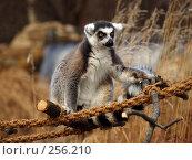 Купить «Лемур из Пражского зоопарка», фото № 256210, снято 20 января 2008 г. (c) Юлия Бобровских / Фотобанк Лори