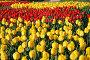 Клумба желтых и красных тюльпанов, фото № 256498, снято 13 мая 2007 г. (c) Надежда Келембет / Фотобанк Лори