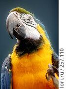 Купить «Попугай», фото № 257110, снято 13 декабря 2017 г. (c) Андрей Доронченко / Фотобанк Лори