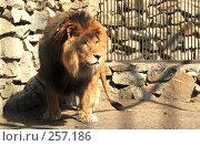 Купить «Лев», фото № 257186, снято 13 декабря 2017 г. (c) Андрей Доронченко / Фотобанк Лори