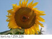 Купить «Подсолнечник», фото № 259226, снято 17 августа 2007 г. (c) Андрей Хохлов / Фотобанк Лори