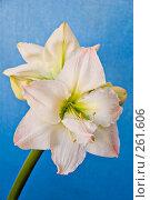 Купить «Белый цветок  Амариллиса», фото № 261606, снято 24 апреля 2008 г. (c) Светлана Силецкая / Фотобанк Лори