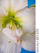 Купить «Белый цветок  Амариллиса. Крупно.», фото № 261610, снято 24 апреля 2008 г. (c) Светлана Силецкая / Фотобанк Лори