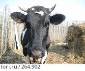 Купить «Корова Милёшка», фото № 264902, снято 14 августа 2018 г. (c) Туров Николай / Фотобанк Лори