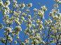 Цветущая ветка фруктового дерева, фото № 265818, снято 26 апреля 2008 г. (c) Примак Полина / Фотобанк Лори