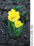 Желтые тюльпаны. Стоковое фото, фотограф Карасева Екатерина Олеговна / Фотобанк Лори