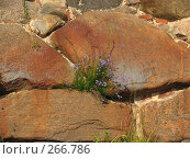Купить «Голубые Колокольчики на стенах из камня», эксклюзивное фото № 266786, снято 10 июля 2007 г. (c) Тамара Заводскова / Фотобанк Лори