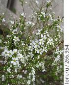 Купить «Белые цветы на ветке куста», фото № 266954, снято 18 марта 2008 г. (c) Олег Дрыго / Фотобанк Лори