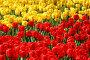 Поляна красных и желтых тюльпанов, фото № 268858, снято 25 апреля 2008 г. (c) Андрей Аркуша / Фотобанк Лори