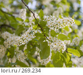 Купить «Цветущая ветка черемухи», фото № 269234, снято 29 апреля 2008 г. (c) Эдуард Межерицкий / Фотобанк Лори