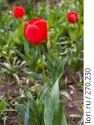 Купить «Красные тюльпаны», фото № 270230, снято 23 апреля 2008 г. (c) Сергей Осипов / Фотобанк Лори