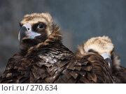 Купить «Черный гриф (Aegypius monachus)», фото № 270634, снято 12 апреля 2008 г. (c) Тимофей Косачев / Фотобанк Лори