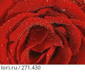 Купить «Алая роза с капельками росы крупным планом», фото № 271430, снято 28 января 2020 г. (c) Вероника Галкина / Фотобанк Лори