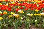 Цветущие разноцветные тюльпаны, фото № 271874, снято 2 мая 2008 г. (c) Светлана Силецкая / Фотобанк Лори