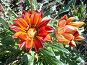Красный цветок, фото № 272466, снято 22 сентября 2007 г. (c) Ольга Смоленкова / Фотобанк Лори