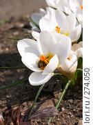 Купить «Крокусы», фото № 274050, снято 3 апреля 2008 г. (c) Куракевич Иван / Фотобанк Лори