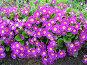 Примула сиреневая - Primula, фото № 274478, снято 31 мая 2006 г. (c) Беляева Наталья / Фотобанк Лори