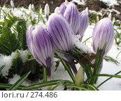 Купить «Крокус весенний Pickwick в снегу - Crocus vernus», фото № 274486, снято 5 мая 2007 г. (c) Беляева Наталья / Фотобанк Лори