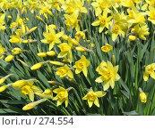 Купить «Нарцисс крупнокорончатый желтый - Narcissus», фото № 274554, снято 20 мая 2006 г. (c) Беляева Наталья / Фотобанк Лори