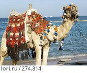 Купить «Верблюд на море», фото № 274814, снято 1 января 2003 г. (c) Юлия Дашкова / Фотобанк Лори