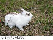 Купить «Кролик», фото № 274830, снято 12 апреля 2008 г. (c) Сергей Лаврентьев / Фотобанк Лори