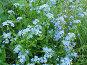 Незабудка лесная - Myosotis sylvatica, фото № 276034, снято 13 июля 2006 г. (c) Беляева Наталья / Фотобанк Лори