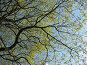Ветви цветущего клена на фоне неба, фото № 276350, снято 2 мая 2008 г. (c) Заноза-Ру / Фотобанк Лори