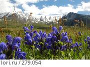 Купить «Синие горные цветы. Горный Алтай», фото № 279054, снято 8 июля 2006 г. (c) Селигеев Андрей Иванович / Фотобанк Лори
