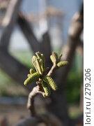 Купить «Цветение маньчжурского ореха», фото № 279206, снято 10 мая 2008 г. (c) kate / Фотобанк Лори